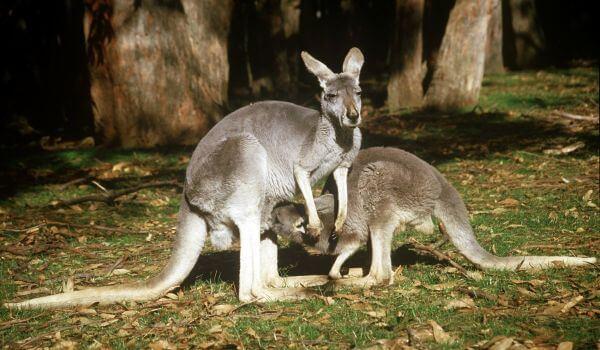 Фото: Серые кенгуру
