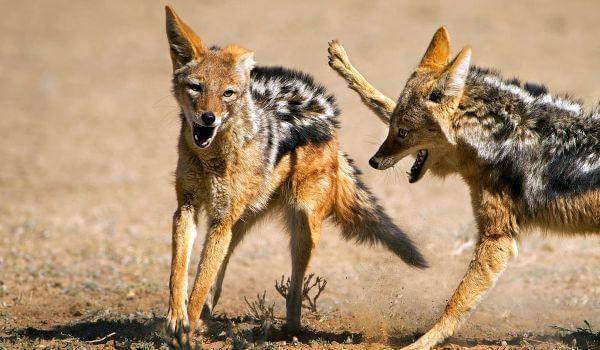 Фото: Шакал животное