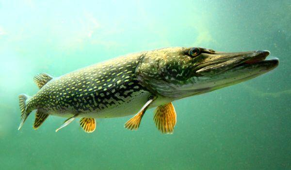 Фото: Рыба щука