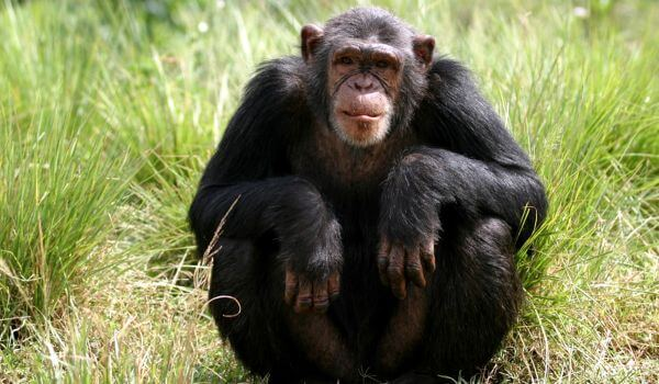 Фото: Шимпанзе
