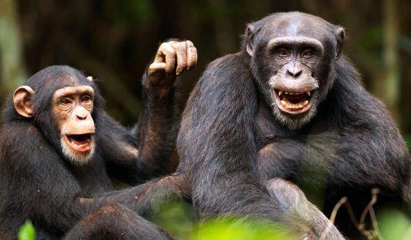 Фото: Обыкновенные шимпанзе