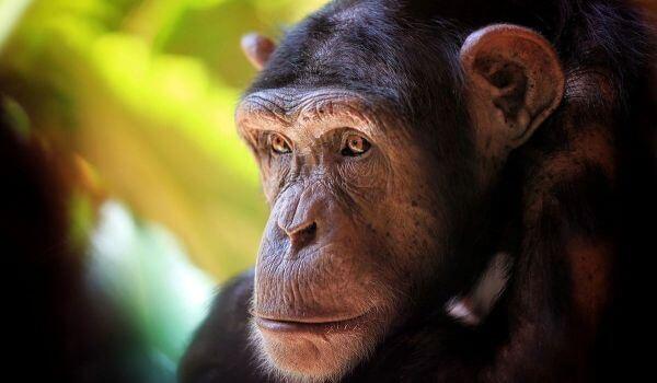 Фото: Шимпанзе Красная книга