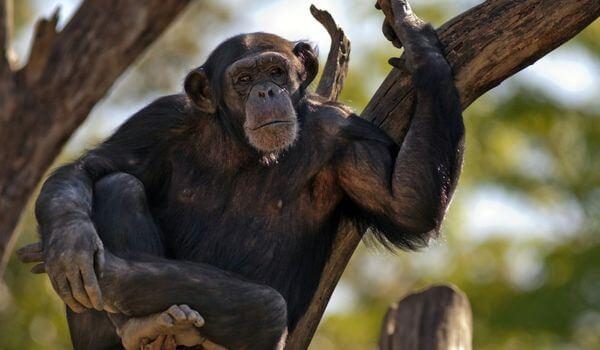 Фото: Обезьяна шимпанзе