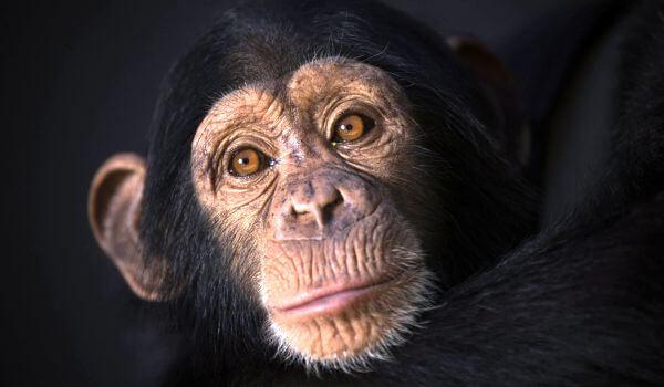 Фото: Животное шимпанзе