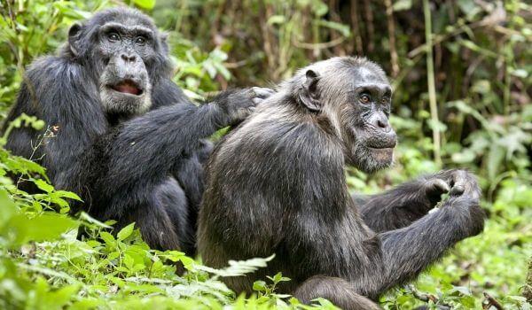 Фото: Приматы шимпанзе