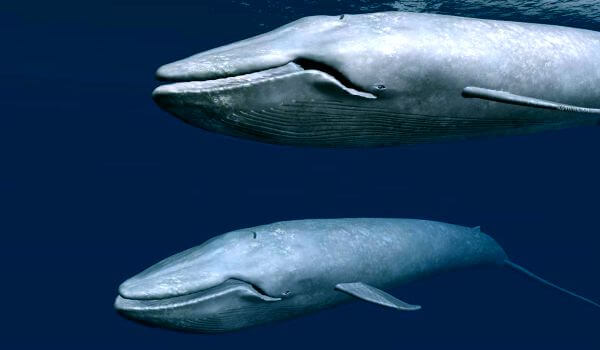 Фото: Детеныш синего кита