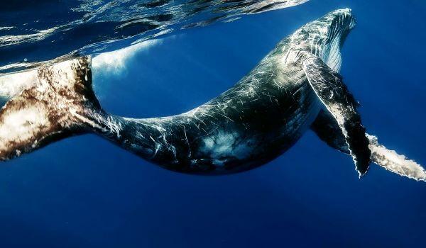 Фото: Синий кит в океане