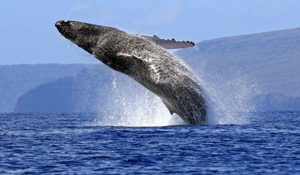 Фото: Животное синий кит