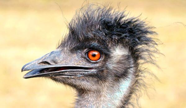Фото: Страус эму птица