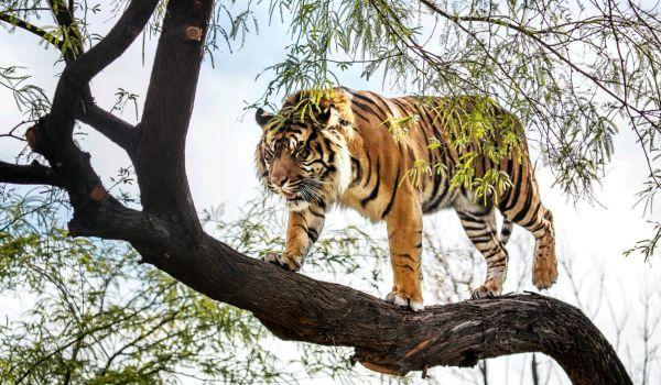 Фото: Суматранский тигр