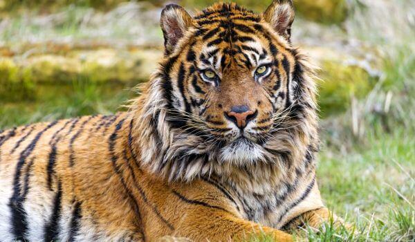 Фото: Суматранский тигр Красная книга