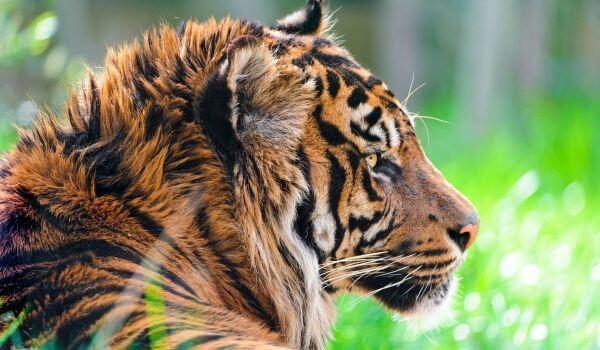 Фото: Животное суматранский тигр