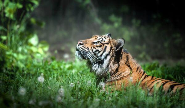Фото: Дикий суматранский тигр