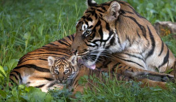 Фото: Детеныш суматранского тигра