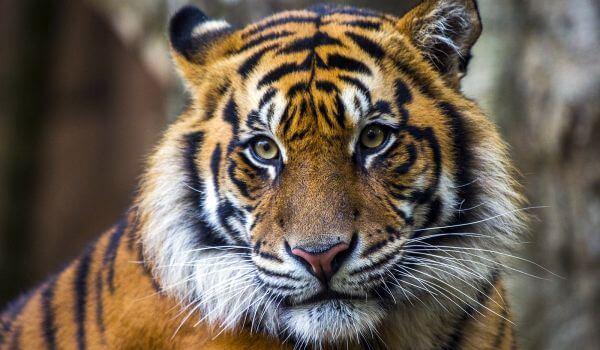 Фото: Хищный суматранский тигр