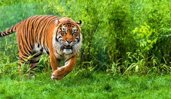 Фото: Суматранский тигр в природе