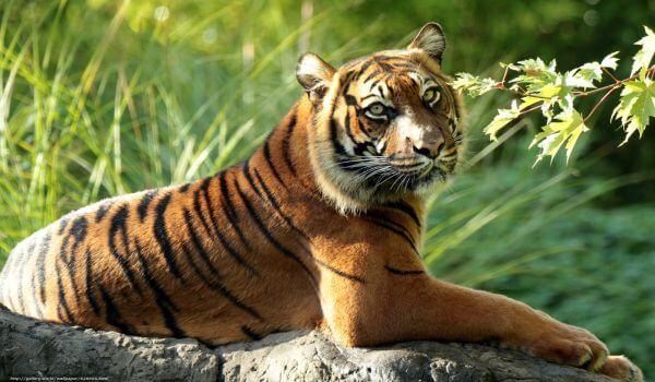 Фото: Суматранский тигр животное