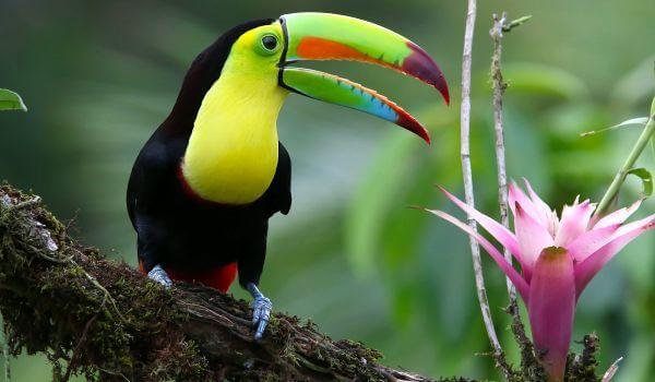 Фото: Тукан Южная Америка