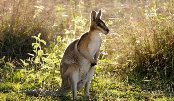 Фото: Валлаби кенгуру