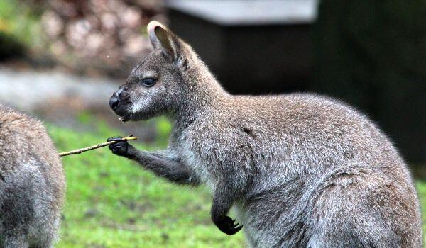 Фото: Валлаби животное