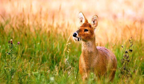 Фото: Китайский водяной олень