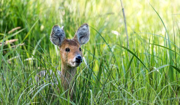 Фото: Животное водяной олень
