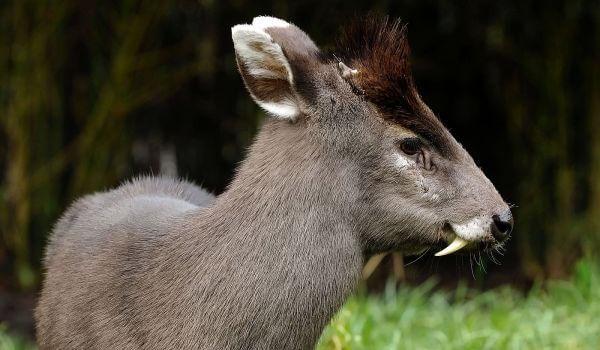 Фото: Водяной олень