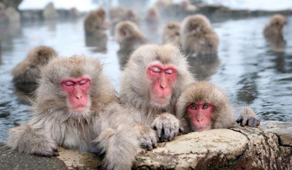 Фото: Японский макак в источнике