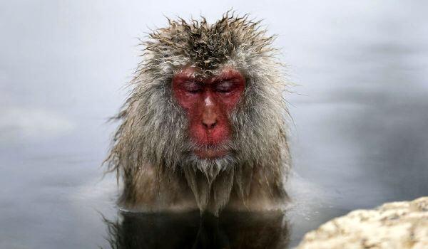 Фото: Животное японский макак