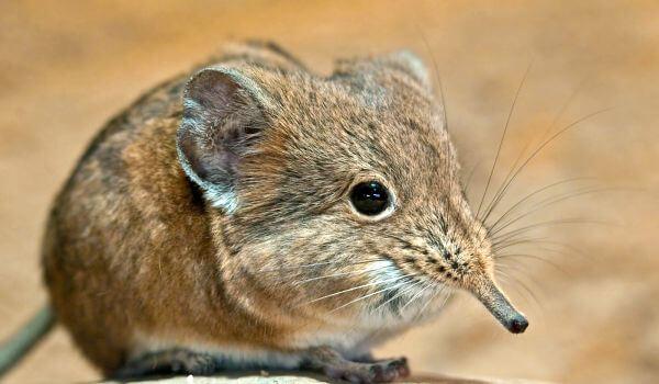 Фото: Землеройка животное