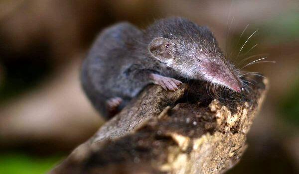 Фото: Мышь землеройка