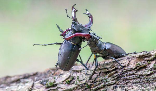 Фото: Жук рогач животное