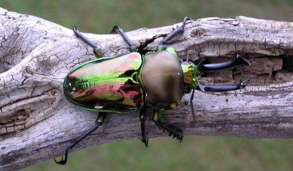 Фото: Насекомое жук рогач