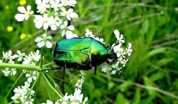 Фото: Золотистая бронзовка жук