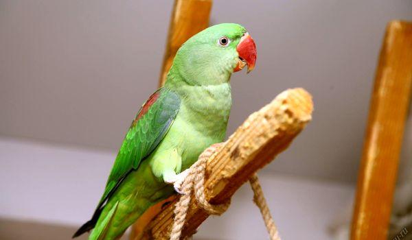 Фото: Александрийский попугай птица