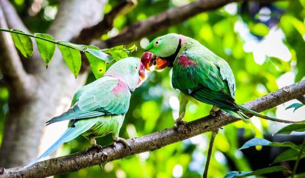 Фото: Александрийский кольчатый попугай