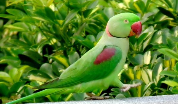 Фото: Александрийский попугай