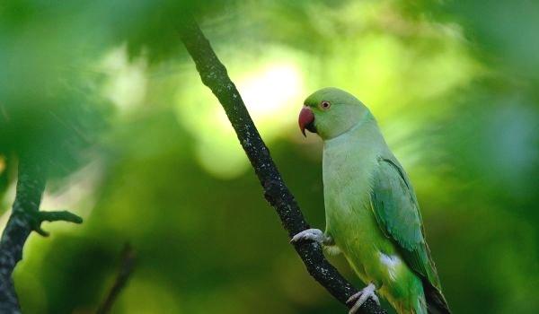 Фото: Александрийский ожереловый попугай