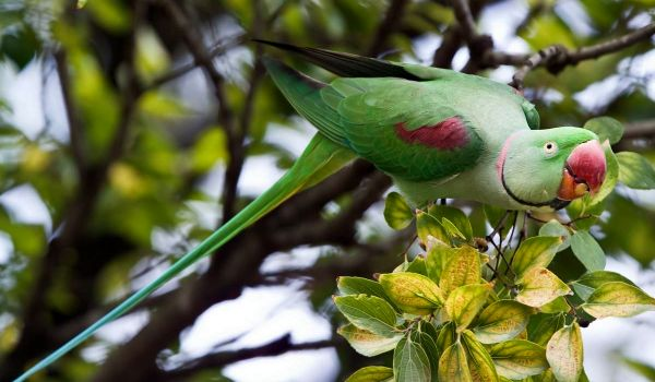 Фото: Птица александрийский попугай