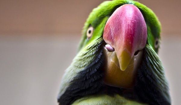 Фото: Александрийский попугай животное