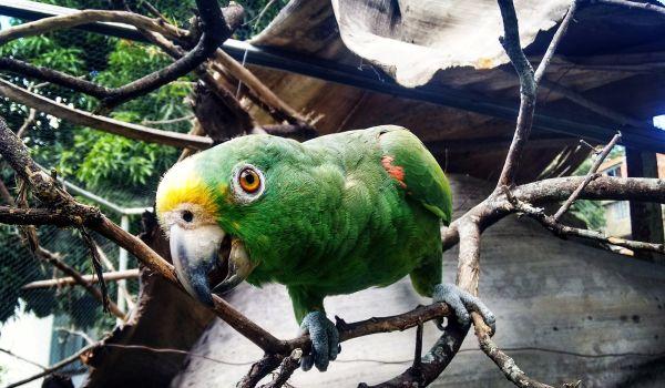 Фото: Самка александрийский попугай