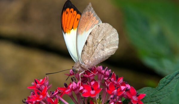 Фото: Бабочка зорька в природе
