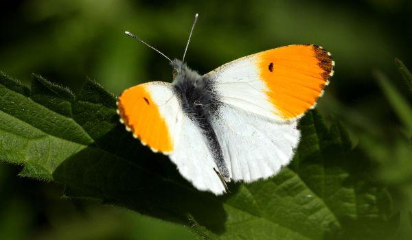Фото: Бабочка зорька