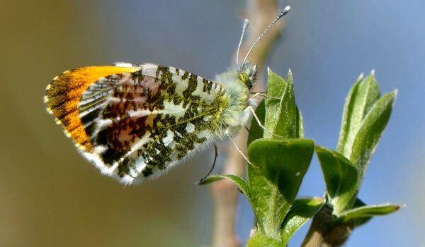 Фото: Бабочка зорька в России