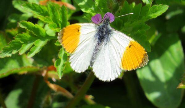 Фото: Бабочка зорька из Красной книги