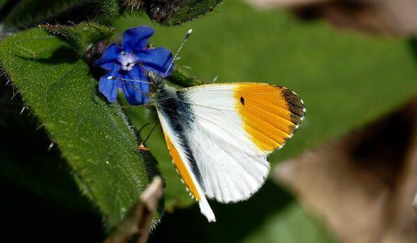 Фото: Бабочка желтушка зорька