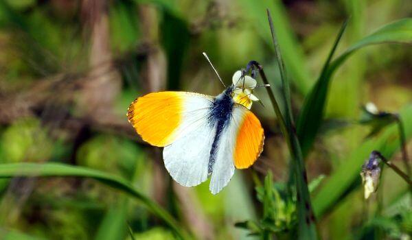 Фото: Бабочка Аврора