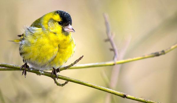 Фото: Птица чиж