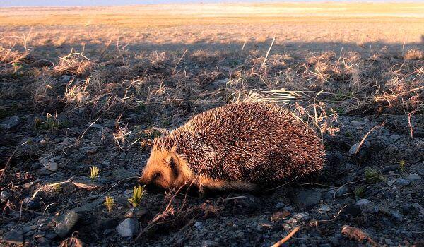 Фото: Даурский ёж в природе
