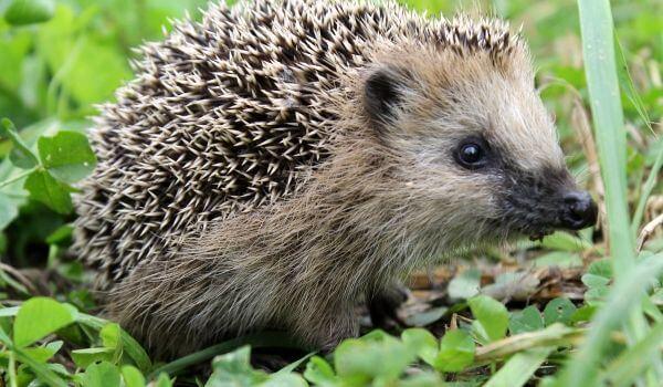 Фото: Животное даурский ёж